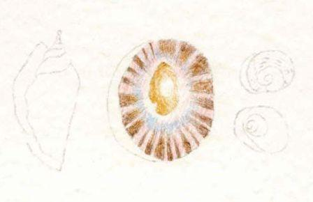 Watercolour Pencil shells drawing 2