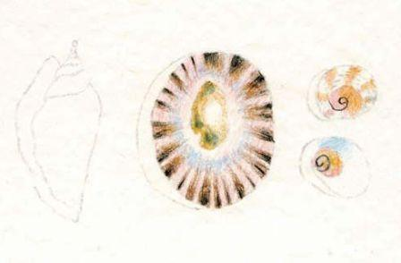 Watercolour Pencil shells drawing 3