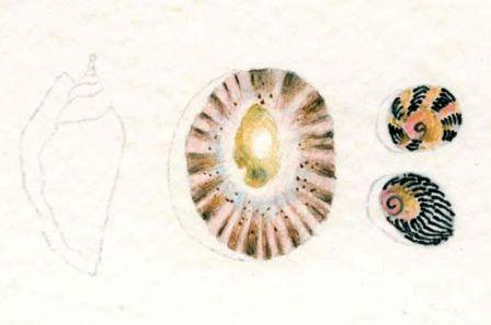 Watercolour Pencil shells drawing 4