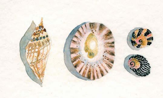 Shells produced with Derwent Watercolour Pencils