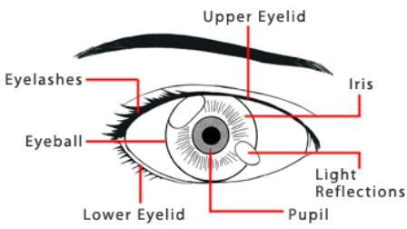 Essential parts of the eye
